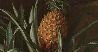 L'Ananas, le fruit roi